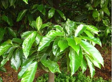 【植物识别】城市林业优良树种——红桂木